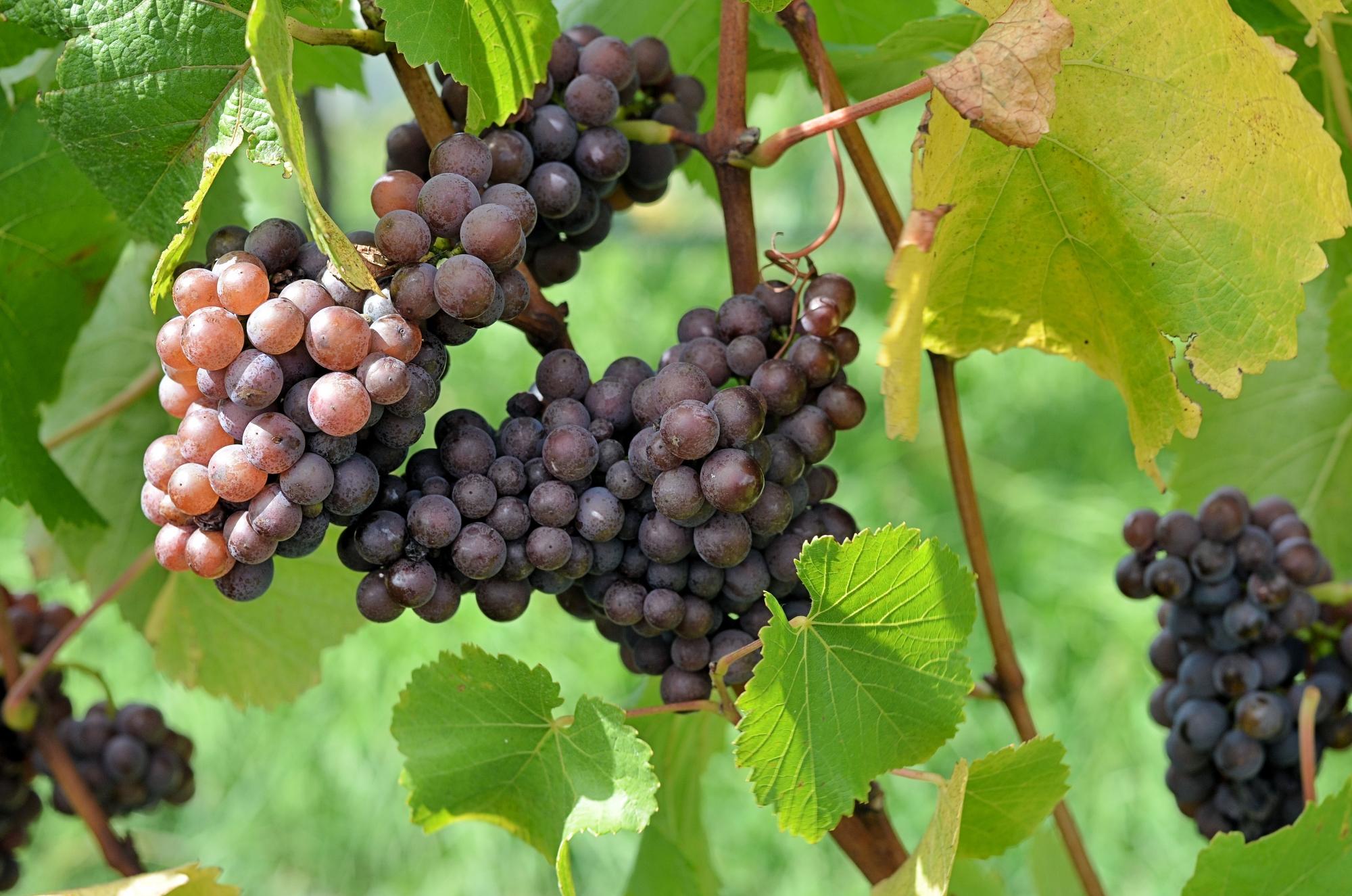 Uva Pinot Grigio